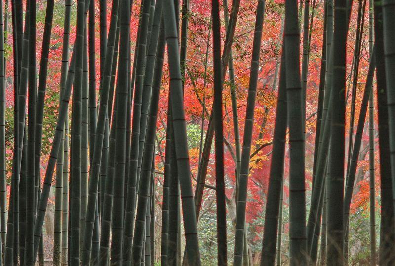 天龍寺近くの竹林