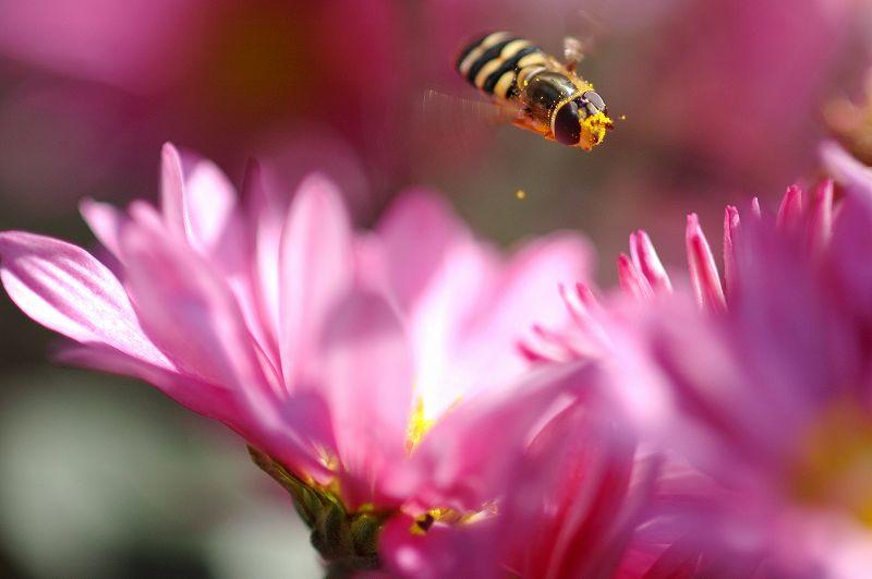 花粉だらけのの蜂さん