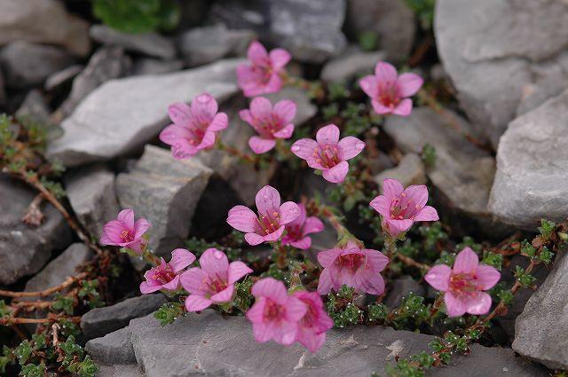アイガートレイルの花